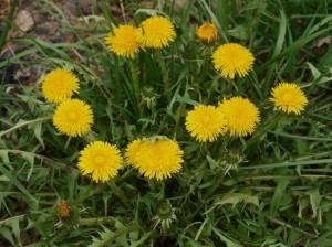 Dandelion - Taraxacum officinale